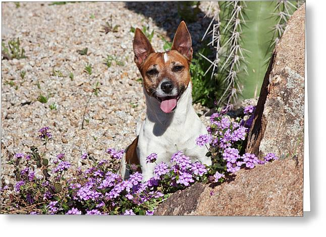 A Jack Russell Terrier Sitting Greeting Card
