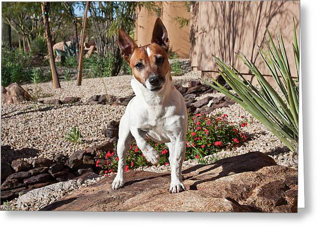 A Jack Russell Terrier Standing Greeting Card