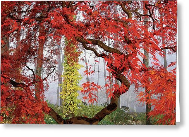 A Japanese Maple Tree Greeting Card by Richard Felber