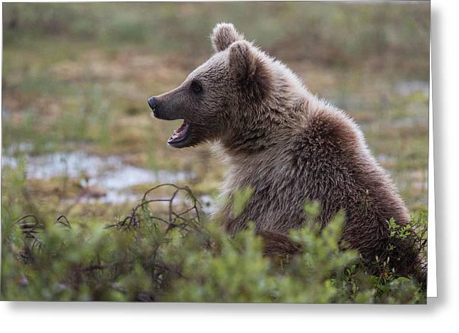 A Juvenile European Brown Bear, Ursus Greeting Card