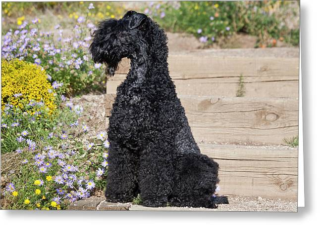 A Kerry Blue Terrier Sitting On Wooden Greeting Card by Zandria Muench Beraldo