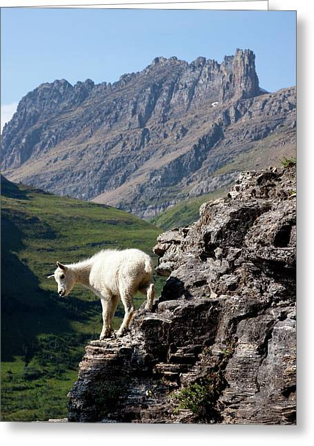 A Kid Mountain Goat In Glacier National Greeting Card