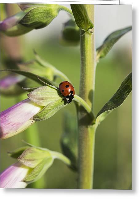 A Ladybug Beetle Rests On Foxglove_ Greeting Card