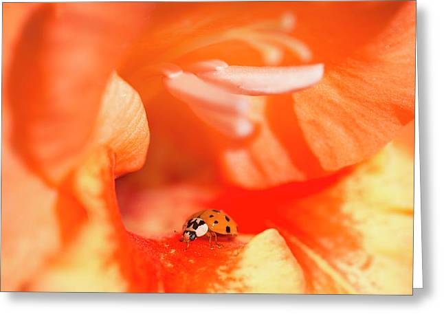 A Ladybug Beetle Searches For Prey Greeting Card