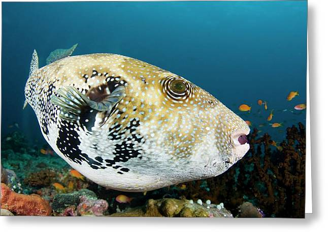A Large Bluespotted Pufferfish Greeting Card