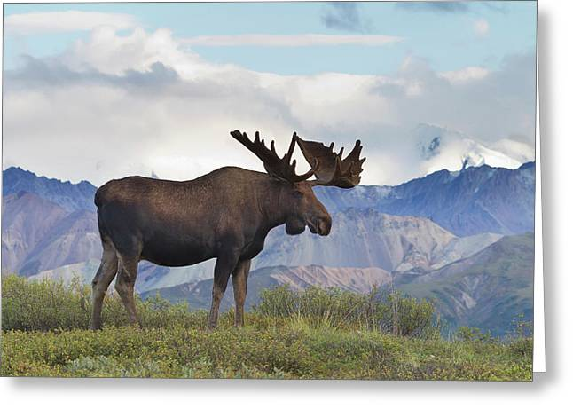 A Large Bull Moose Stands On The Tundra Greeting Card