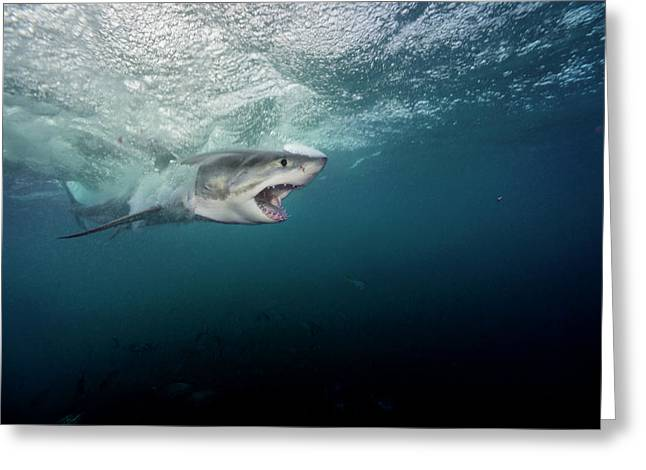 A Large Great White Shark Explodes Greeting Card by Brian Skerry
