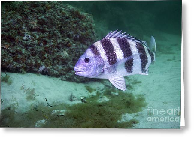 A Large Sheepshead Ruising The Bottom Greeting Card by Michael Wood