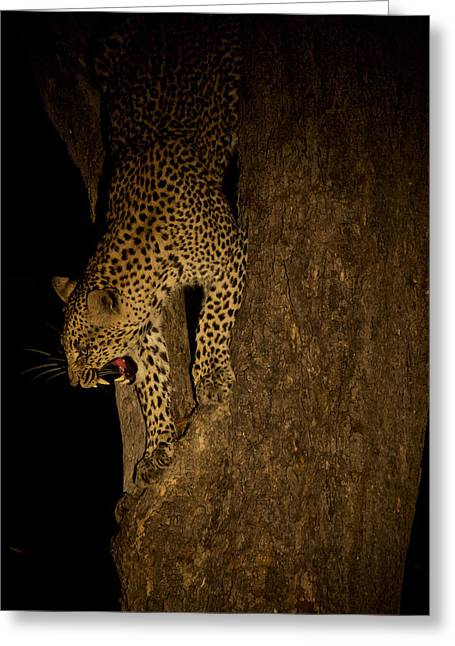 A Leopard Descends A Tree And Growls Greeting Card by Steve Winter