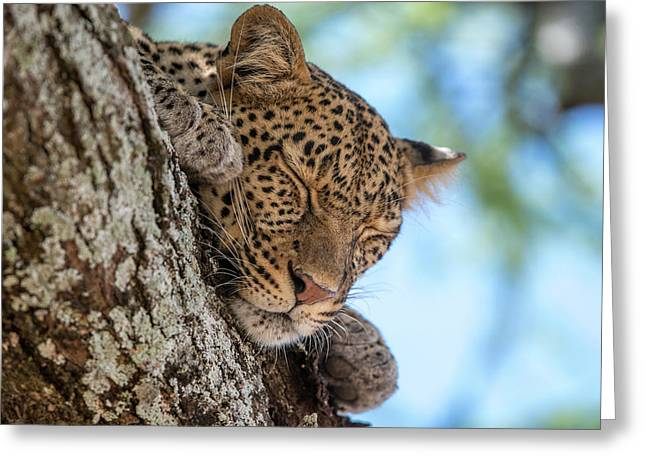 A Leopard, Panthera Pardus, Sleeping Greeting Card