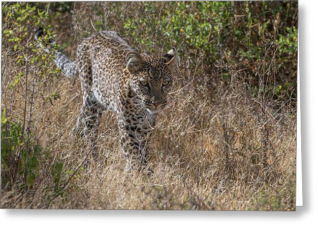 A Leopard, Panthera Pardus, Walking Greeting Card