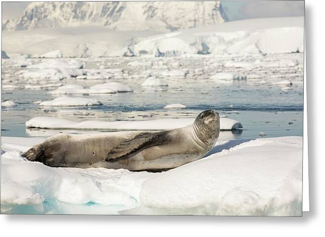 A Leopard Seal Greeting Card