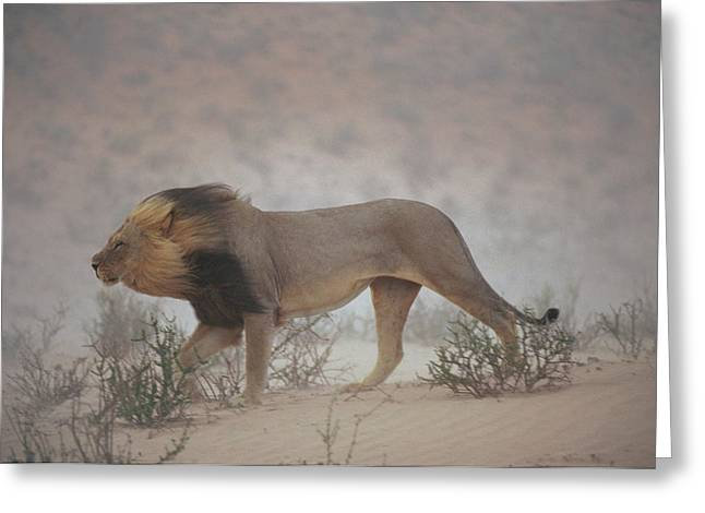 A Lion Pushes On Through A Gritty Wind Greeting Card by Chris Johns
