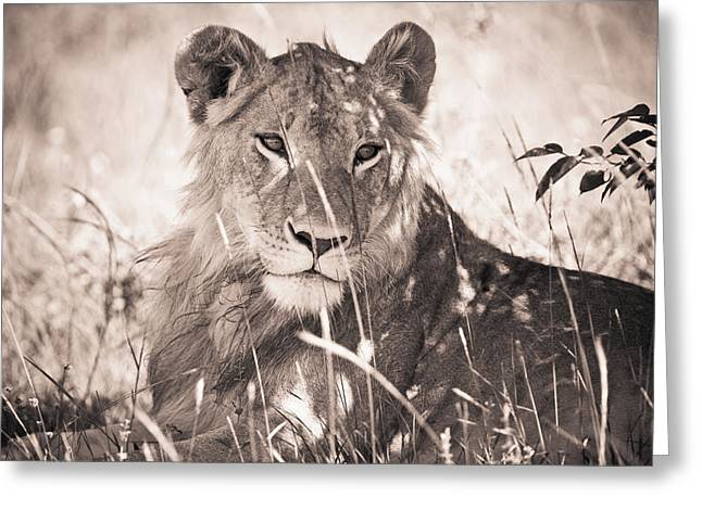 A Lioness Lays In The Shade Kenya Greeting Card by David DuChemin