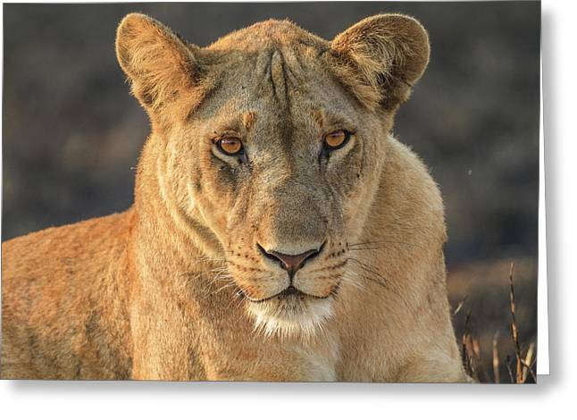 A Lioness Looks At The Camera Greeting Card by Ronan Donovan