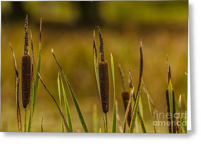 A Load Of Bulrushes. Greeting Card by Darren Wilkes