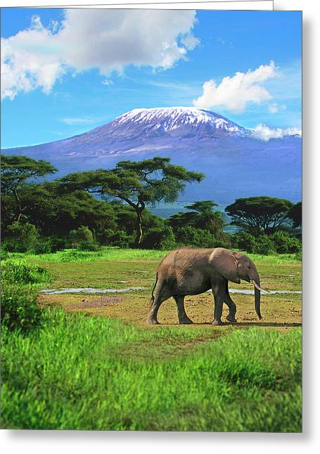 A Lone African Elephant (loxodonta Greeting Card by Miva Stock