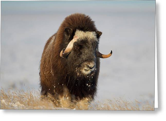 A Lone Musk Ox Bull Browses On Sedges Greeting Card