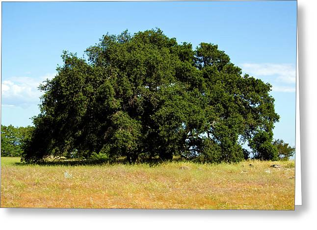 A Lone Tree Greeting Card by Terry Thomas