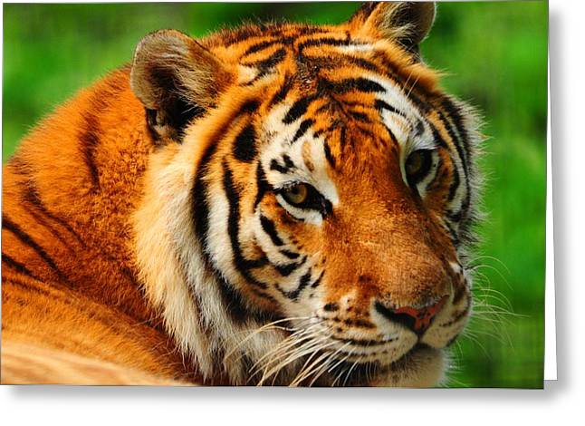 A Look From A Tiger Greeting Card by Valarie Davis