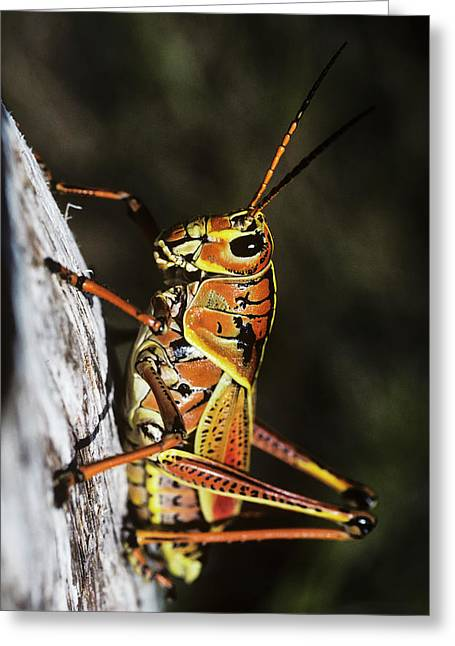 A Lubber Grasshopper Rests On A Tree Greeting Card by Robert L. Potts
