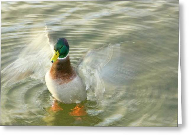A Male Mallard Duck Flapping Greeting Card by Ashley Cooper