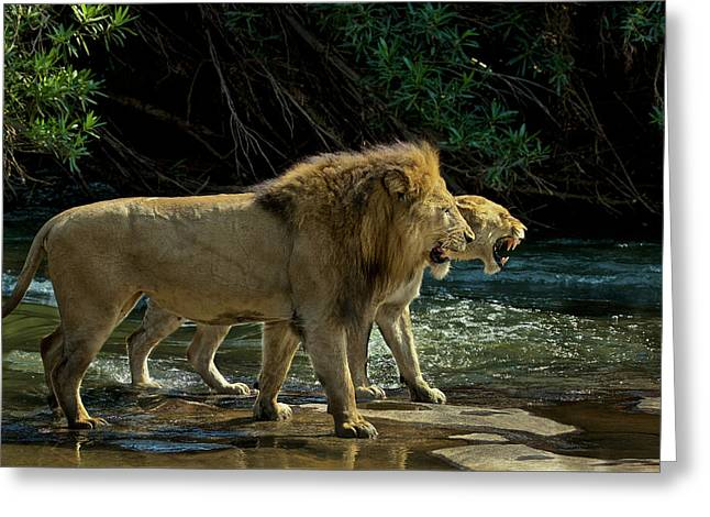 A Mating Pair Of Lions At The Rivers Greeting Card by Steve Winter