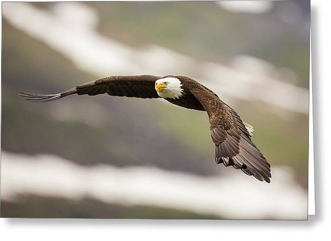 A Mature Bald Eagle In Flight Greeting Card