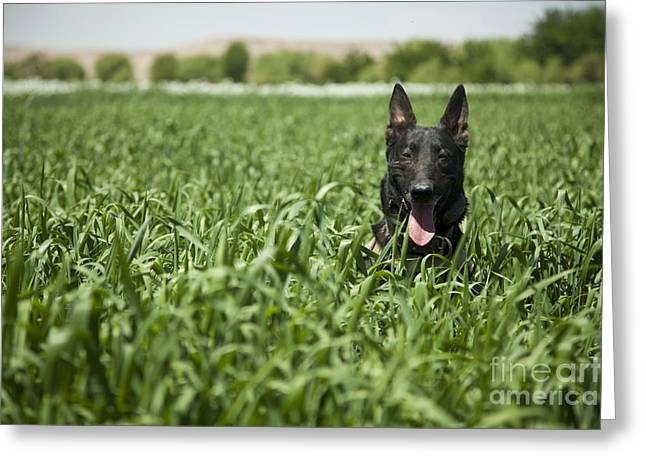 A Military Working Dog Sits In A Field Greeting Card
