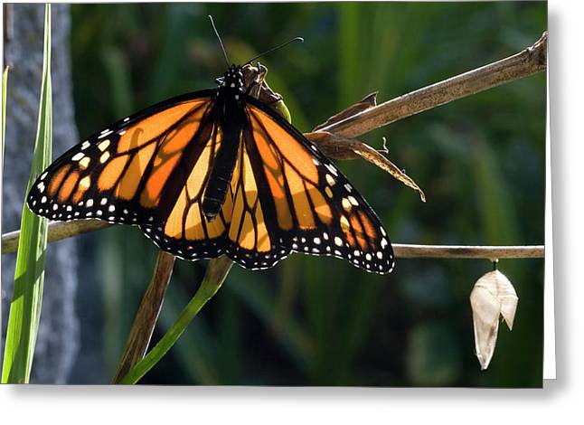 A Monarch Butterfly Danaus Plexippus Greeting Card
