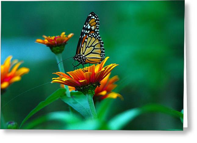 Greeting Card featuring the photograph A Monarch by Raymond Salani III