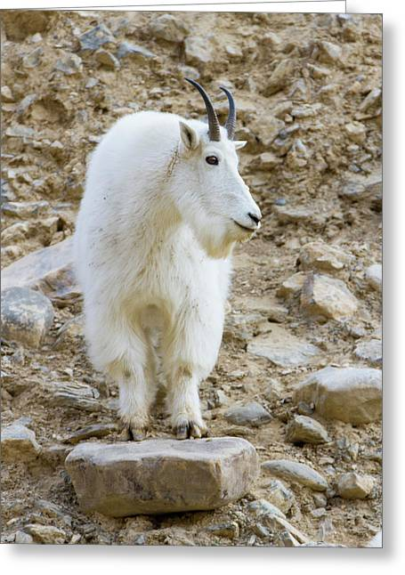 A Mountain Goat On Watch In The Big Greeting Card