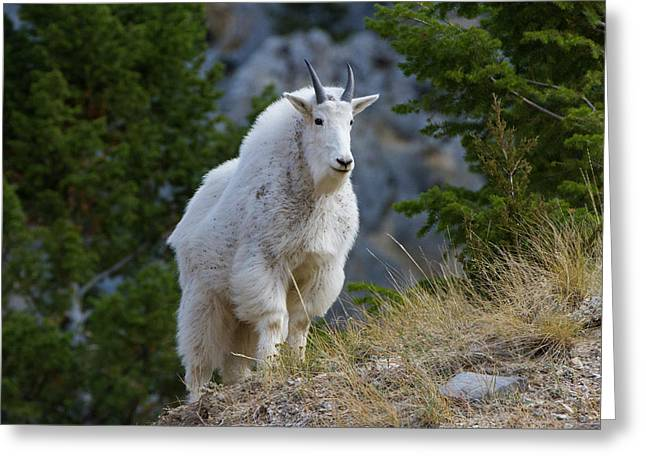 A Mountain Goat Stands On A Grassy Greeting Card