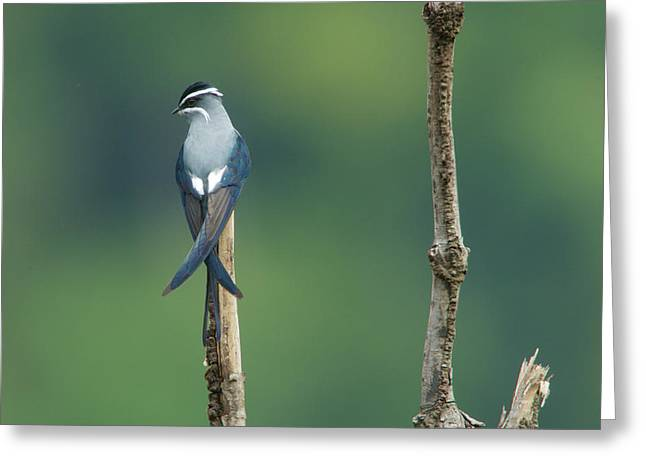 A Moustached Tree-swift, Hemiprocne Greeting Card