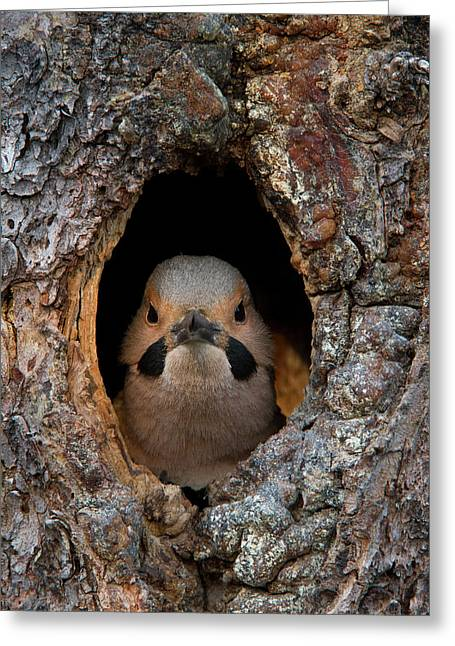A Northern Flicker In The Hollow Greeting Card