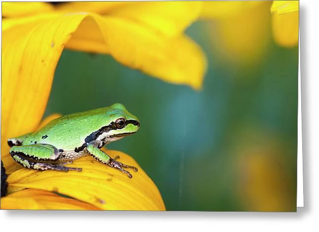 A Pacific Tree Frog  Pseudacris Regilla Greeting Card