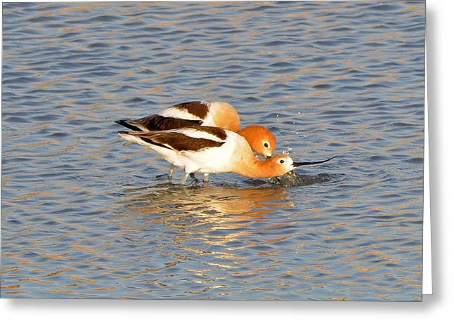 Greeting Card featuring the photograph A Pair Of American Avocets by Lula Adams