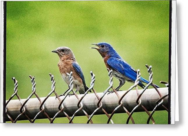 Nesting Bluebirds Greeting Card