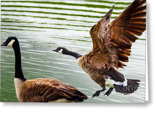 A Pair Of Canada Geese Landing On Rockland Lake Greeting Card by Jerry Cowart