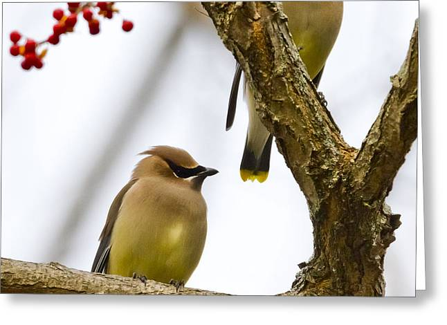 A Pair Of Cedar Waxwings Greeting Card