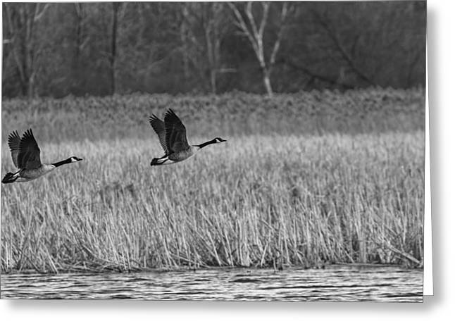 A Pair Of Geese Leaving The Marsh In Black And White Greeting Card by Thomas Young