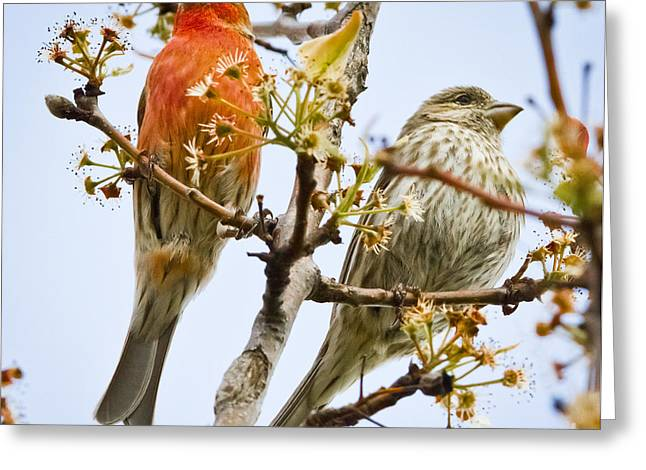 A Pair Of House Finches Greeting Card