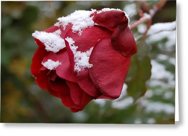 A Passing Unrequited - Rose In Winter Greeting Card by Steven Milner