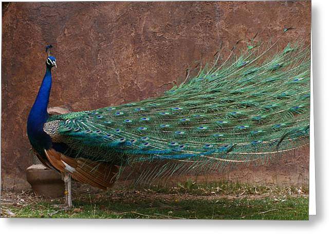 A Peacock Greeting Card
