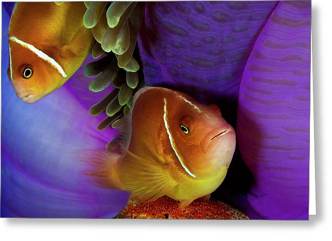 A Pink Anemonefish Fans The Eggs Greeting Card