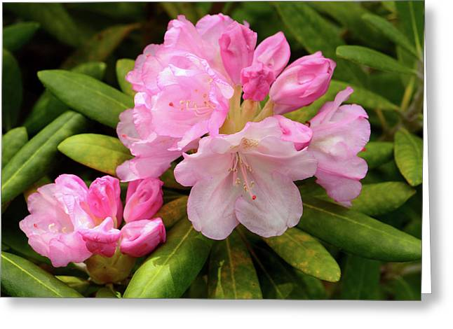 A Pink Rhododendron In Bloom Greeting Card