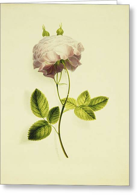 A Pink Rose Greeting Card by James Holland