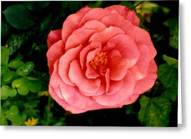 Greeting Card featuring the photograph A Pink Rose by Mary Armstrong