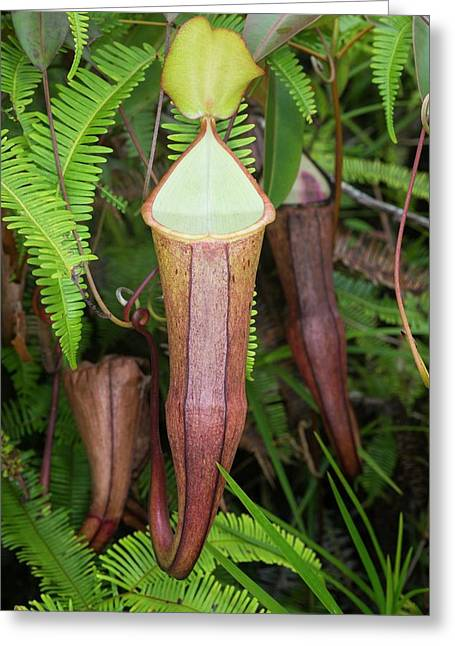A Pitcher Plant In Malaysia Greeting Card by Scubazoo