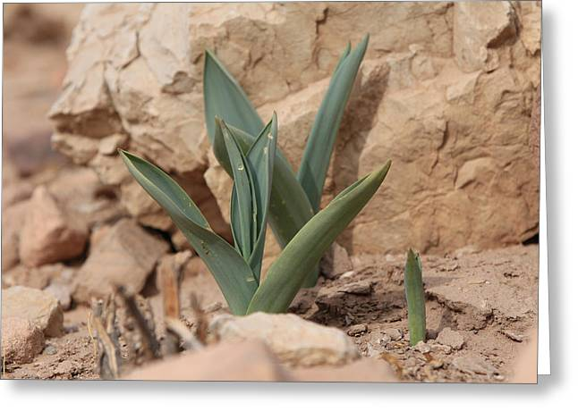 A Plant In The Desert In Petra Jordan Greeting Card by Ash Sharesomephotos